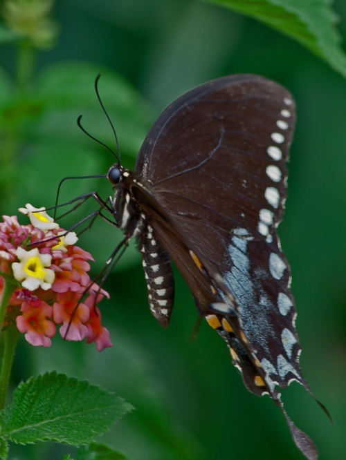black_swallowtail1_6x8blog
