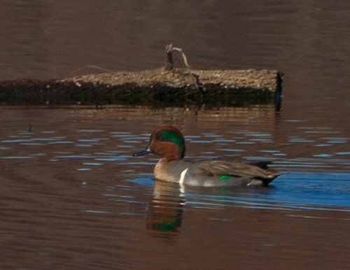 Male Green-winged Teal swimming