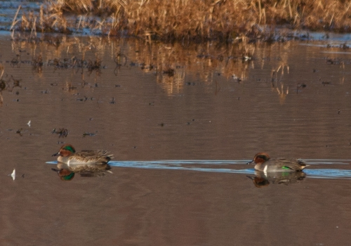 Pair of male Green-winged Teals