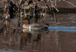 Green-winged Teal withbushes