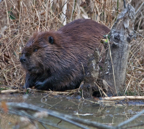 Beaver at Huntley Meadows Park