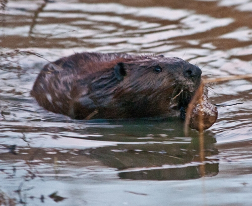 Beaver with open mouth