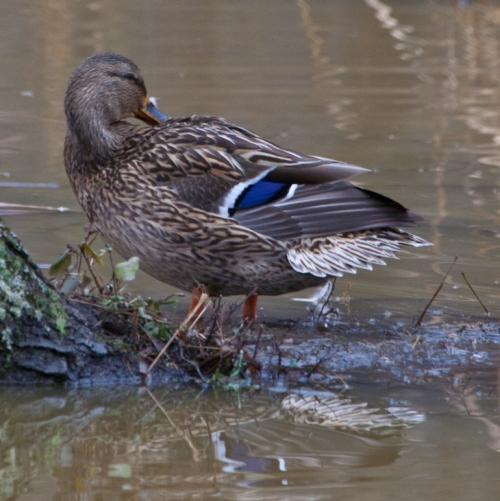 Shy duck
