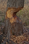 Mostly gnawed tree