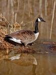Sentinel goose