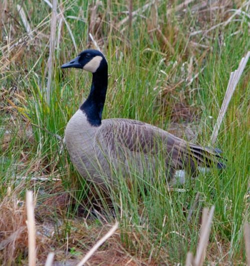 goose_grass_blog