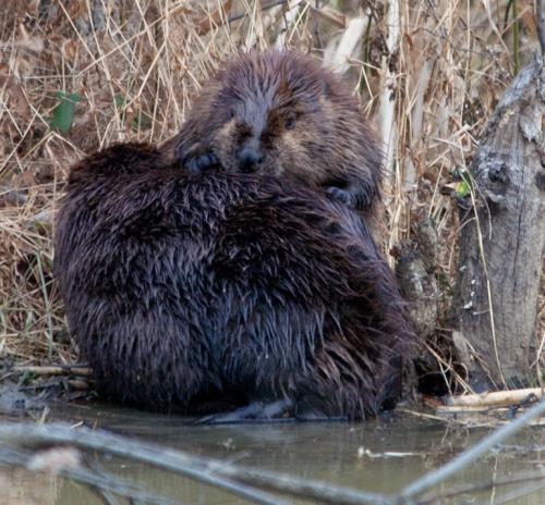 Beaver masseuse