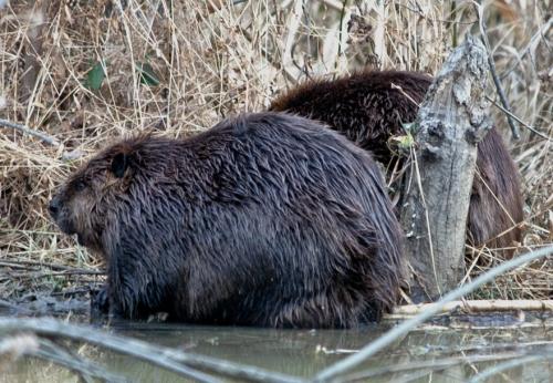 Shaggy beaver