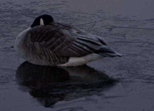 Goose asleep in the moonlight