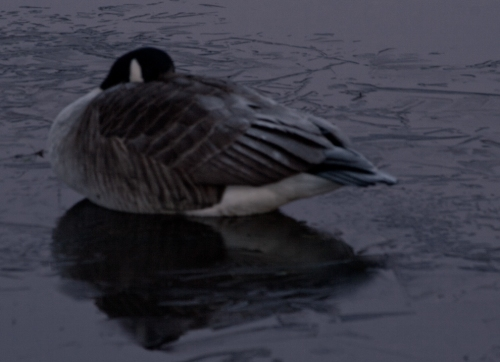 Goose asleep in the moonlight