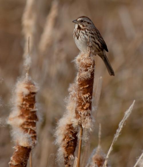 song_sparrow_blog