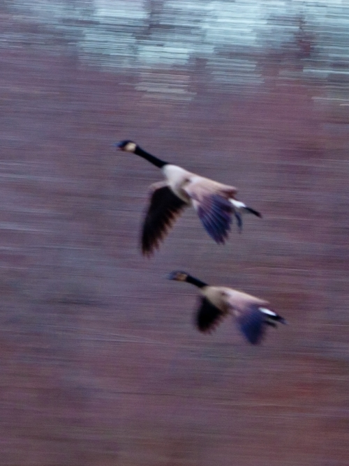 Geese liftoff