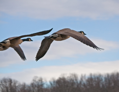 Geese takeoff