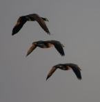 goose trio 2