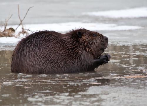 beaver_profile_blog