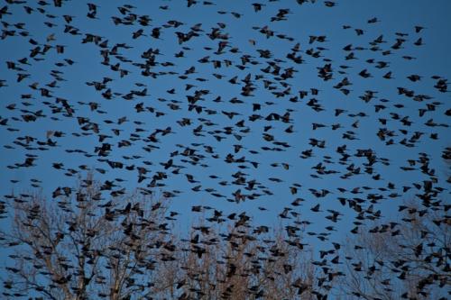 blackbirds_blog