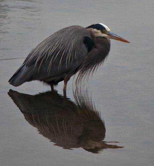 Great Blue Heron on Potomac River, Take 2