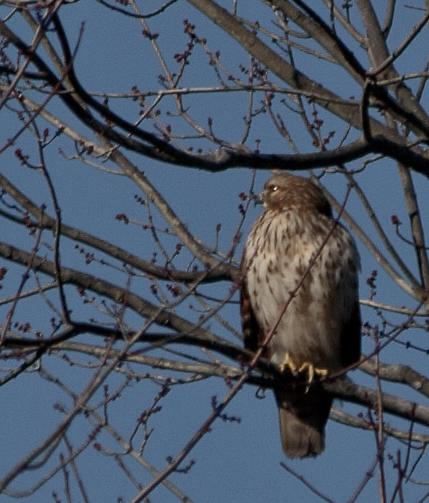 Hawk3_blog