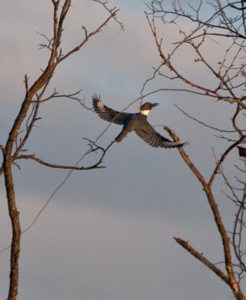 kingfisher1_blog
