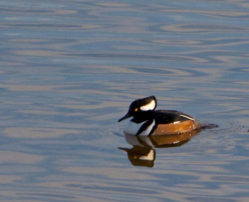 Merganser2_blog