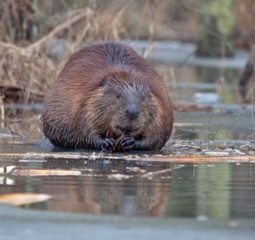 round_beaver3_blog
