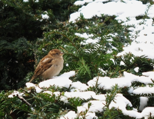 Sparrow in Brussels