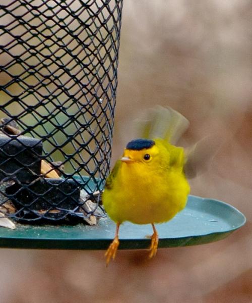 Wilson's Warbler Hovering