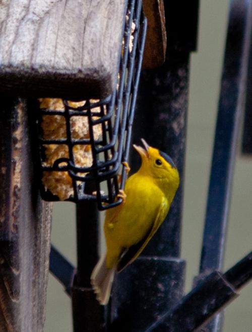 Wilson's Warbler Feeding
