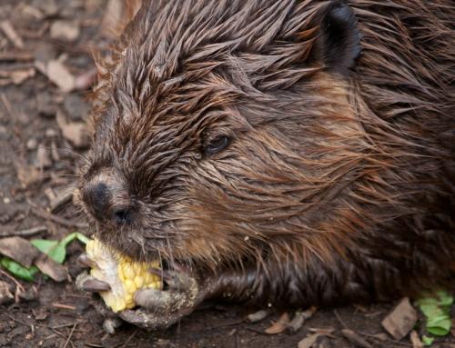 beaver_corn2_blog