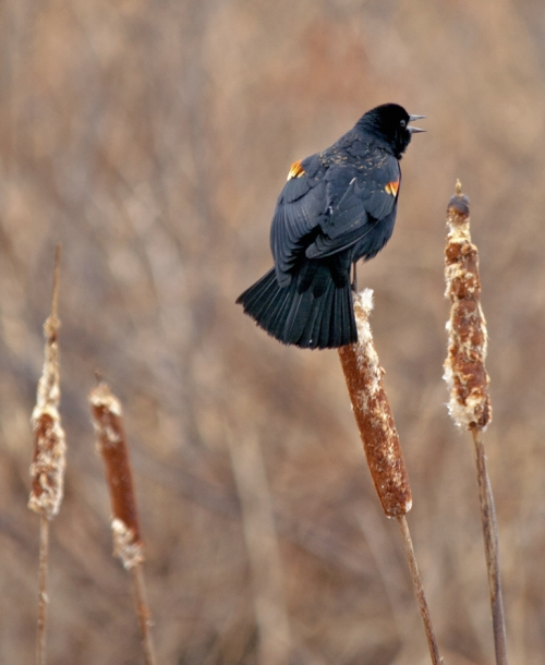 blackbird1_blog