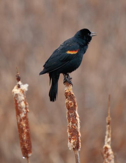 blackbird2_blog