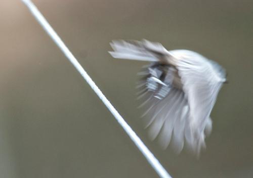 BlurryBird lorez
