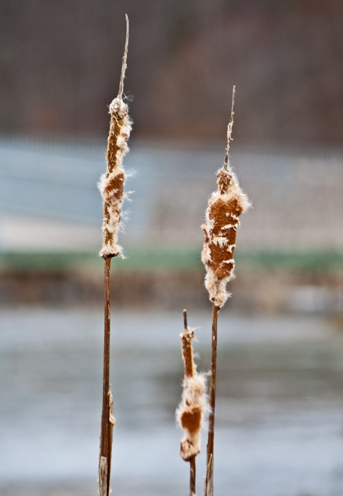 cattails2_blog