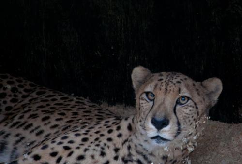 cheetah2_blog