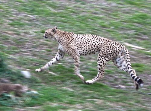 cheetah4_blog