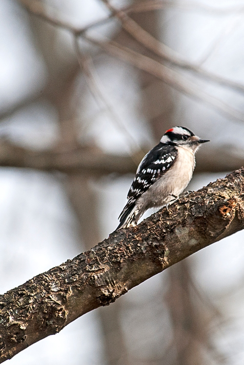 Downy Woodpecker lorez