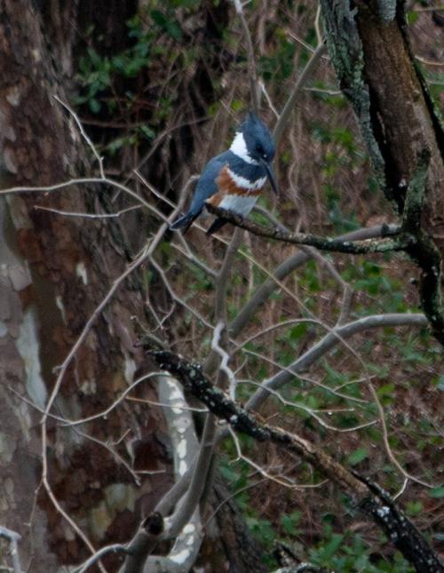 kingfisher_F2_blog