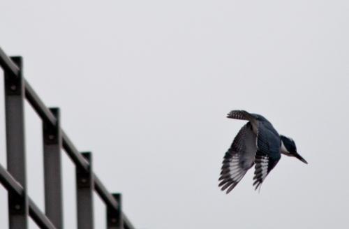 kingfisher_M2_blog