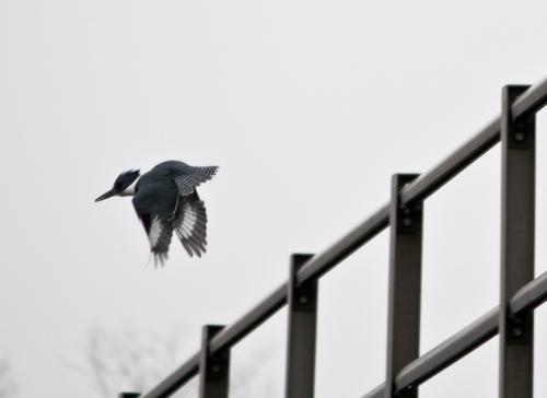 kingfisher_M4_blog