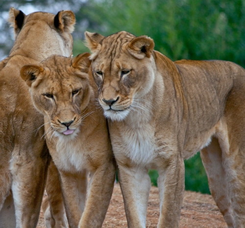 lioness3_blog
