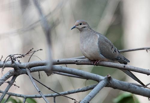 Mourning Dove lorez