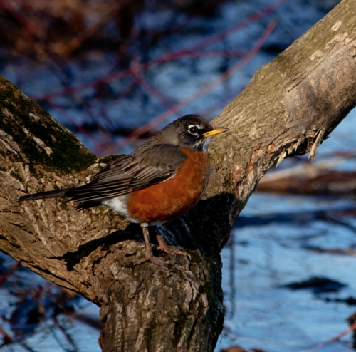 Robin1_blog