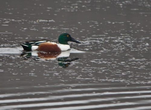 Male Northern Shoveler at Huntley Meadows Park