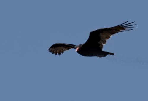 vulture1_blog