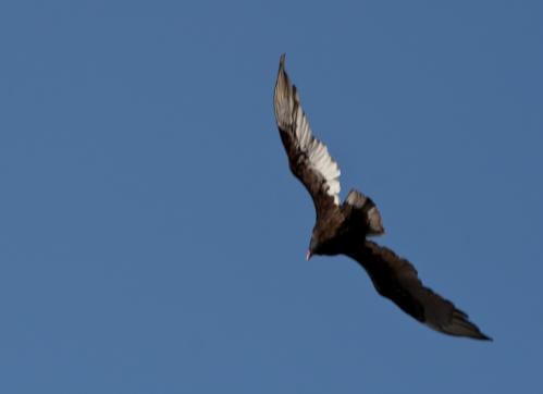 vulture2_blog