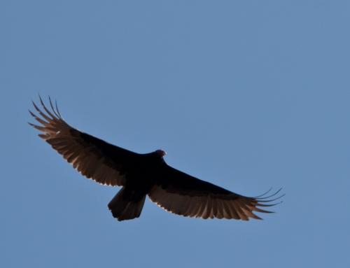 vulture3_blog