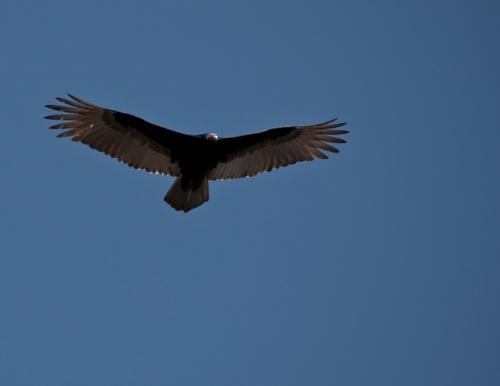 vulture4_blog