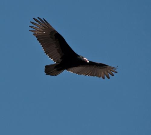 vulture5_blog