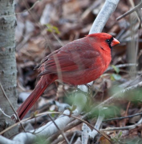 cardinal_smile_blog