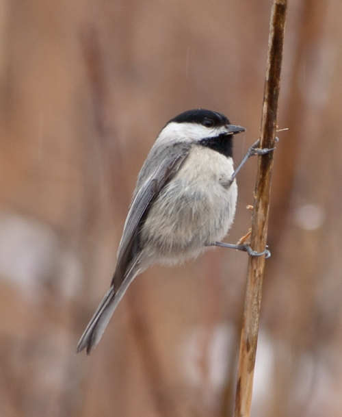 chickadee2_blog
